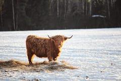 在wintersnow的长毛的黄牛 免版税库存照片