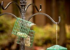 在Wiscon Northwoods染黑在饲养者栖息的加盖的山雀 免版税图库摄影