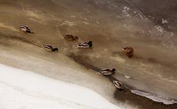 在wnter的鸭子 免版税图库摄影