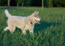 在wolk的多壳的小狗 免版税库存图片