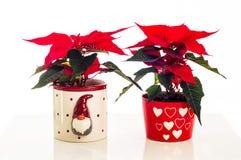 在Xmas罐的两朵一品红花 库存图片