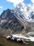在yaks之下的山雪 免版税库存图片