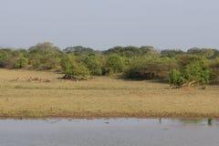 在Yala Nationalpark的Safai 库存照片