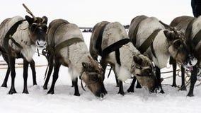 在Yamal的国庆节吃雪的驯鹿