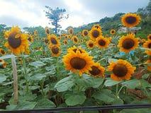 在Yamang Bukid,巴拉旺岛,菲律宾的向日葵 免版税库存图片