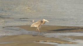 在Yaquina海湾动物野生生物太平洋西海岸的狂放的蓝色苍鹭狩猎 影视素材