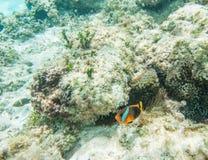 在Yehele海滩珊瑚礁的Clownfish 库存照片