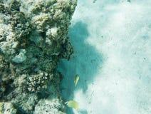 在Yejele海滩的热带香橼蝴蝶鱼 免版税图库摄影