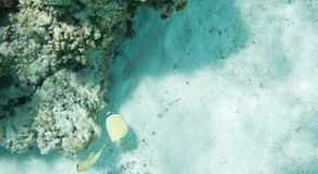 在Yejele海滩的香橼蝴蝶鱼 库存图片