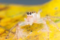 在yello叶子极端关闭的跳跃的蜘蛛j宏观照片  免版税图库摄影