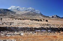 在Yumthang谷的牦牛 免版税库存照片