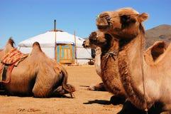 在yurt前面的骆驼 免版税库存图片