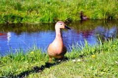 在Zaan河附近的一只棕色鸭子 免版税库存照片