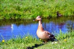 在Zaan河附近的一只棕色鸭子 库存图片