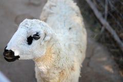 在zooSheep的绵羊在动物园里 图库摄影