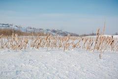地下茎香草在雪下的冬天 俄罗斯在寒冷期间的冬天藤茎 库存图片