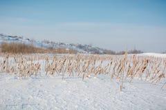 地下茎香草在雪下的冬天 俄罗斯在寒冷期间的冬天藤茎 免版税库存照片