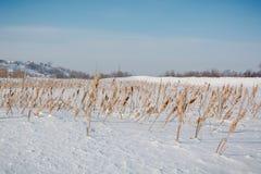 地下茎香草在雪下的冬天 俄罗斯在寒冷期间的冬天藤茎 库存照片
