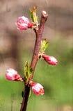 织地不很细老纸,一棵开花的树的分支在庭院的 免版税库存图片
