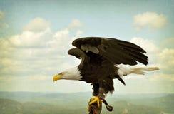 织地不很细训练的白头鹰- 库存图片