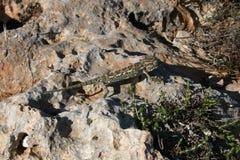 地中海变色蜥蜴 库存照片