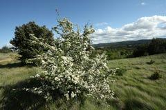 地中海山楂树的横向 图库摄影