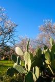 地中海春天在Javea Denia用花杏仁 免版税图库摄影