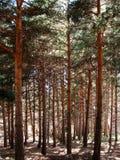 地中海杉木森林 图库摄影