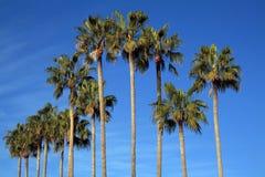 地中海棕榈树 库存图片