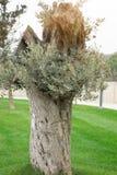 地中海橄榄树准备好收获 库存照片