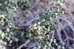 地中海海岸的植物 库存图片