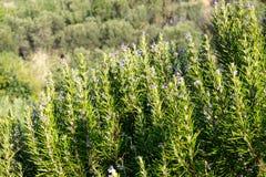 地中海罗斯玛丽芳香四季不断的植物 库存图片