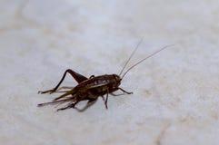 地中海蟋蟀Gryllus bimaculatus 免版税库存照片