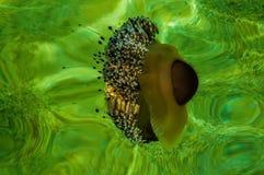 地中海水母在绿色水域中 图库摄影
