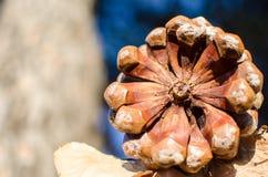 地中海Pinecone的冷杉或的杉木 库存照片