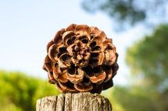 地中海Pinecone的冷杉或的杉木 免版税库存照片