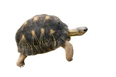 地产草龟 库存图片