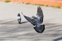 地产鸽子 免版税图库摄影