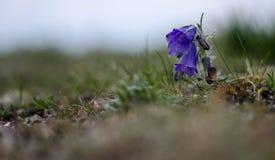 地区Liptov在斯洛伐克一朵他的自然动物和植物群和高tatras山紫色吊钟花在岩石 免版税库存照片