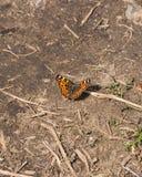 地图在地面,选择聚焦,浅DOF的蝴蝶或Araschnia levana特写镜头的斯平形式 免版税图库摄影