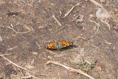 地图在地面,选择聚焦,浅DOF的蝴蝶或Araschnia levana特写镜头的斯平形式 免版税库存图片