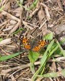 地图在草,选择聚焦,浅DOF的蝴蝶或Araschnia levana特写镜头的斯平形式 免版税库存图片