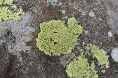 地图地衣Rhizocarpon geographicum 免版税图库摄影