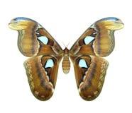 地图集飞蛾或Attacus地图集是一只大蝴蝶 免版税库存照片
