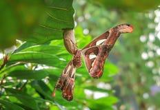 地图集飞蛾,世界` s最大的蝴蝶的侧视图 免版税库存照片