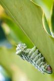 地图集飞蛾(Attacus地图集)毛虫 免版税库存图片