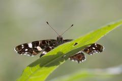 地图蝴蝶特写镜头画象 库存照片