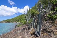 地方性加勒比植物种类 库存图片