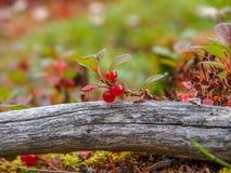 地方性和罕见的草莓 免版税图库摄影