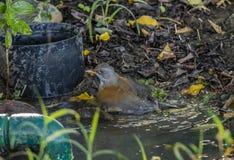地方性支持红褐色的罗宾画眉类rufopalliatus在墨西哥洗一个小水坑的巴恩 免版税图库摄影